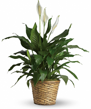 blog_7.21_Phoenix_Flower_Shops_peace_lily.png