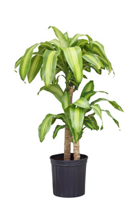 blog_7.21_Plant_and_Flower_Info_Dracaena.png